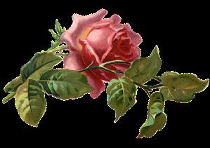 vintage-rose